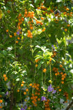 πορτοκάλι καρπών στοκ εικόνα με δικαίωμα ελεύθερης χρήσης