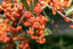 πορτοκάλι μούρων Στοκ φωτογραφία με δικαίωμα ελεύθερης χρήσης