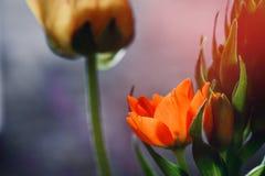 πορτοκάλι λουλουδιών κίτρινο Στοκ φωτογραφία με δικαίωμα ελεύθερης χρήσης