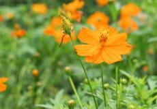 Πορτοκάλι λουλουδιών κόσμου Στοκ Εικόνες