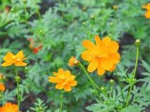 Πορτοκάλι λουλουδιών κόσμου Στοκ εικόνες με δικαίωμα ελεύθερης χρήσης