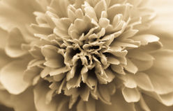 Πορτοκάλι λουλουδιών μεφιτίδων Στοκ φωτογραφία με δικαίωμα ελεύθερης χρήσης