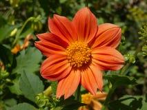Πορτοκάλι λουλουδιών νταλιών Στοκ εικόνες με δικαίωμα ελεύθερης χρήσης