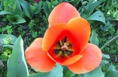 Πορτοκάλι λουλουδιών τουλιπών στον κήπο Στοκ Εικόνα
