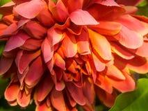 πορτοκάλι λουλουδιών Στοκ Φωτογραφία