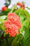 Πορτοκάλι λουλουδιών Ixora Στοκ Εικόνα