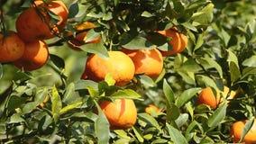 Πορτοκάλι στο δέντρο στις εγκαταστάσεις κήπων απόθεμα βίντεο