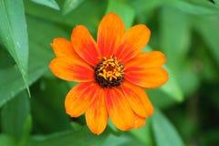 Πορτοκάλι της Daisy Στοκ Φωτογραφίες