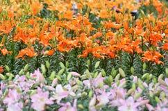Πορτοκάλι της Lilly Στοκ Φωτογραφίες