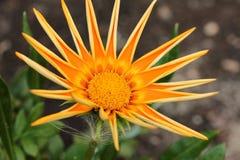 πορτοκάλι gazania λουλουδιώ& Στοκ Εικόνες