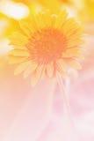 πορτοκάλι gerbera λουλουδιών μαργαριτών Στοκ εικόνες με δικαίωμα ελεύθερης χρήσης