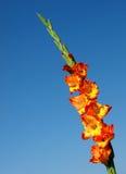 Πορτοκάλι Gladiolus στοκ εικόνα με δικαίωμα ελεύθερης χρήσης