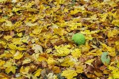 Πορτοκάλι Osage στα φύλλα φθινοπώρου στοκ εικόνες με δικαίωμα ελεύθερης χρήσης