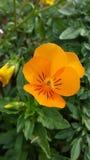 Πορτοκάλι Pansy Στοκ εικόνα με δικαίωμα ελεύθερης χρήσης