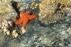 Πορτοκαλής αστερίας στη λίμνη παλίρροιας στοκ φωτογραφία