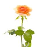πορτοκαλής αυξήθηκε Στοκ εικόνες με δικαίωμα ελεύθερης χρήσης