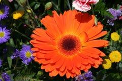 πορτοκαλής ηλίανθος Στοκ Εικόνες