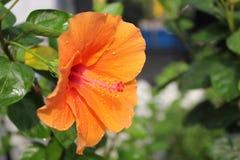Πορτοκαλής θολωμένος λουλούδι κήπος παπουτσιών ως υπόβαθρο Στοκ Φωτογραφία