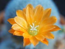 Πορτοκαλής κάκτος, rebutia λουλουδιών κάκτων στοκ εικόνες με δικαίωμα ελεύθερης χρήσης