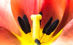 Πορτοκαλής και κίτρινος ακραίος μακρο στενός επάνω λουλουδιών τουλιπών φλογών Οι λεπτομέρειες του εσωτερικού λουλουδιού τουλιπών  στοκ φωτογραφία με δικαίωμα ελεύθερης χρήσης