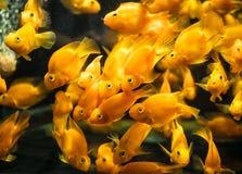 Πορτοκαλής παπαγάλος αίματος ψαριών cichlid στο ενυδρείο Στοκ Εικόνες