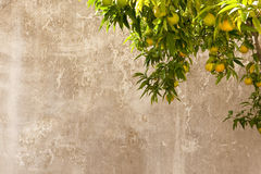 πορτοκαλής τοίχος δέντρ&omega Στοκ Εικόνες