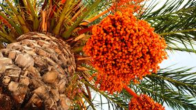 Πορτοκαλής φοίνικας ημερομηνίας με τα φρούτα ημερομηνίας στοκ εικόνα