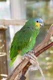 Πορτοκαλής-φτερωτή Αμαζώνα Στοκ Εικόνες