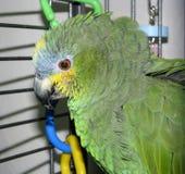 Πορτοκαλής-φτερωτό Αμαζόνιος πορτρέτο παπαγάλων της Pet Να κοιτάξει κάτω Στοκ φωτογραφίες με δικαίωμα ελεύθερης χρήσης