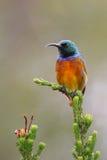πορτοκαλής sunbird Στοκ φωτογραφία με δικαίωμα ελεύθερης χρήσης