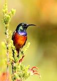 πορτοκαλής sunbird Στοκ εικόνες με δικαίωμα ελεύθερης χρήσης