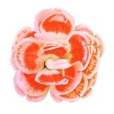 Πορτοκαλί άσπρο λουλούδι γαρίφαλων που απομονώνεται στο άσπρο υπόβαθρο Κινηματογράφηση σε πρώτο πλάνο στοιχείο σχεδίου Χριστουγέν Στοκ φωτογραφία με δικαίωμα ελεύθερης χρήσης