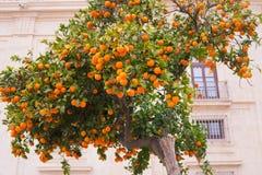 Πορτοκαλί δέντρο κοντά στο σπίτι πετρών πορτοκάλι καρπού ώριμο Στοκ Εικόνες