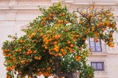 Πορτοκαλί δέντρο κοντά στο σπίτι πετρών πορτοκάλι καρπού ώριμο Στοκ φωτογραφία με δικαίωμα ελεύθερης χρήσης
