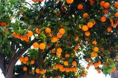 Πορτοκαλί δέντρο κοντά στο σπίτι πετρών πορτοκάλι καρπού ώριμο Στοκ Εικόνα