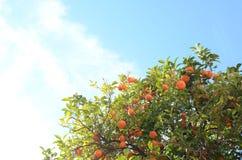 Πορτοκαλί δέντρο με τον ουρανό στο υπόβαθρο στοκ φωτογραφία με δικαίωμα ελεύθερης χρήσης