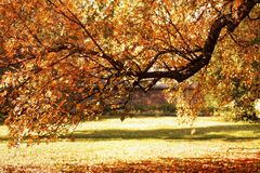 Πορτοκαλί δέντρο πτώσης φθινοπώρου στο πάρκο Στοκ φωτογραφία με δικαίωμα ελεύθερης χρήσης