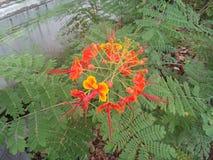 Πορτοκαλί δέντρο υπερηφάνειας των Μπαρμπάντος χρώματος στοκ εικόνα