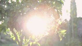 Πορτοκαλί δέντρο φωτός του ήλιου στο πορτοκαλί αγρόκτημα r Πορτοκαλί δέντρο στον ήλιο Ώριμα juicy φρούτα απόθεμα βίντεο