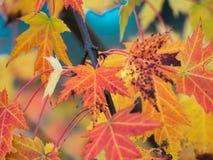 Πορτοκαλί δέντρο φύλλων σφενδάμου φθινοπώρου Στοκ Φωτογραφία