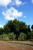 πορτοκαλί δέντρο στοκ εικόνα με δικαίωμα ελεύθερης χρήσης