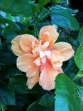 Πορτοκαλί διπλό hibiscus λουλούδι Στοκ φωτογραφίες με δικαίωμα ελεύθερης χρήσης