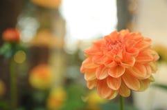 Πορτοκαλί ενιαίο λουλούδι Στοκ φωτογραφία με δικαίωμα ελεύθερης χρήσης