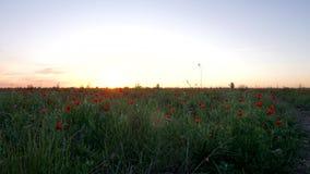 Πορτοκαλί ηλιοβασίλεμα που αγνοεί τους κόκκινους τομείς παπαρουνών Κόκκινα λουλούδια στο ηλιοβασίλεμα απόθεμα βίντεο