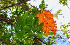 Πορτοκαλί ιωβηλαίο, πορτοκαλιά κουδούνια στοκ εικόνες με δικαίωμα ελεύθερης χρήσης