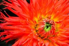 Πορτοκαλί, κίτρινο και κόκκινο λουλούδι νταλιών φλογών με την πράσινη κεντρική στενή επάνω μακρο φωτογραφία Στοκ Εικόνες