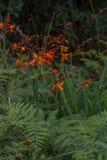 Πορτοκαλί και κόκκινο λουλούδι Στοκ εικόνα με δικαίωμα ελεύθερης χρήσης
