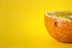 Πορτοκαλί κουνούπι Στοκ Φωτογραφίες