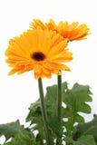 πορτοκαλί λευκό μαργαριτών gerber Στοκ Εικόνες