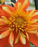 Πορτοκαλί λουλούδι κήπων στοκ εικόνες με δικαίωμα ελεύθερης χρήσης